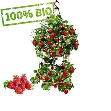 Außergewöhnlich Frühtragende Hänge-Erdbeeren Frische Pflanzen mit großen Früchten &RT_48