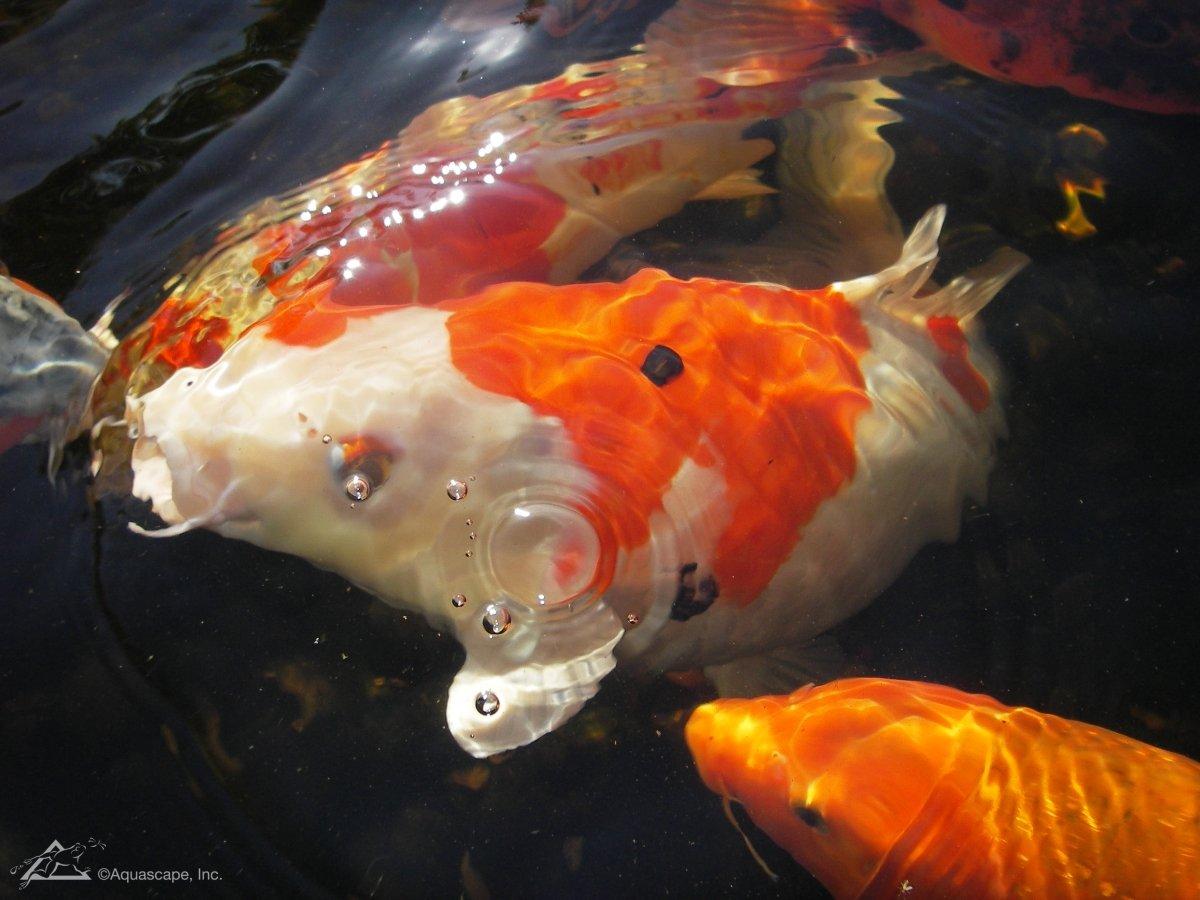 Amazon.com: Aquascape Premium Color Enhancing Fish Food Pellets for ...