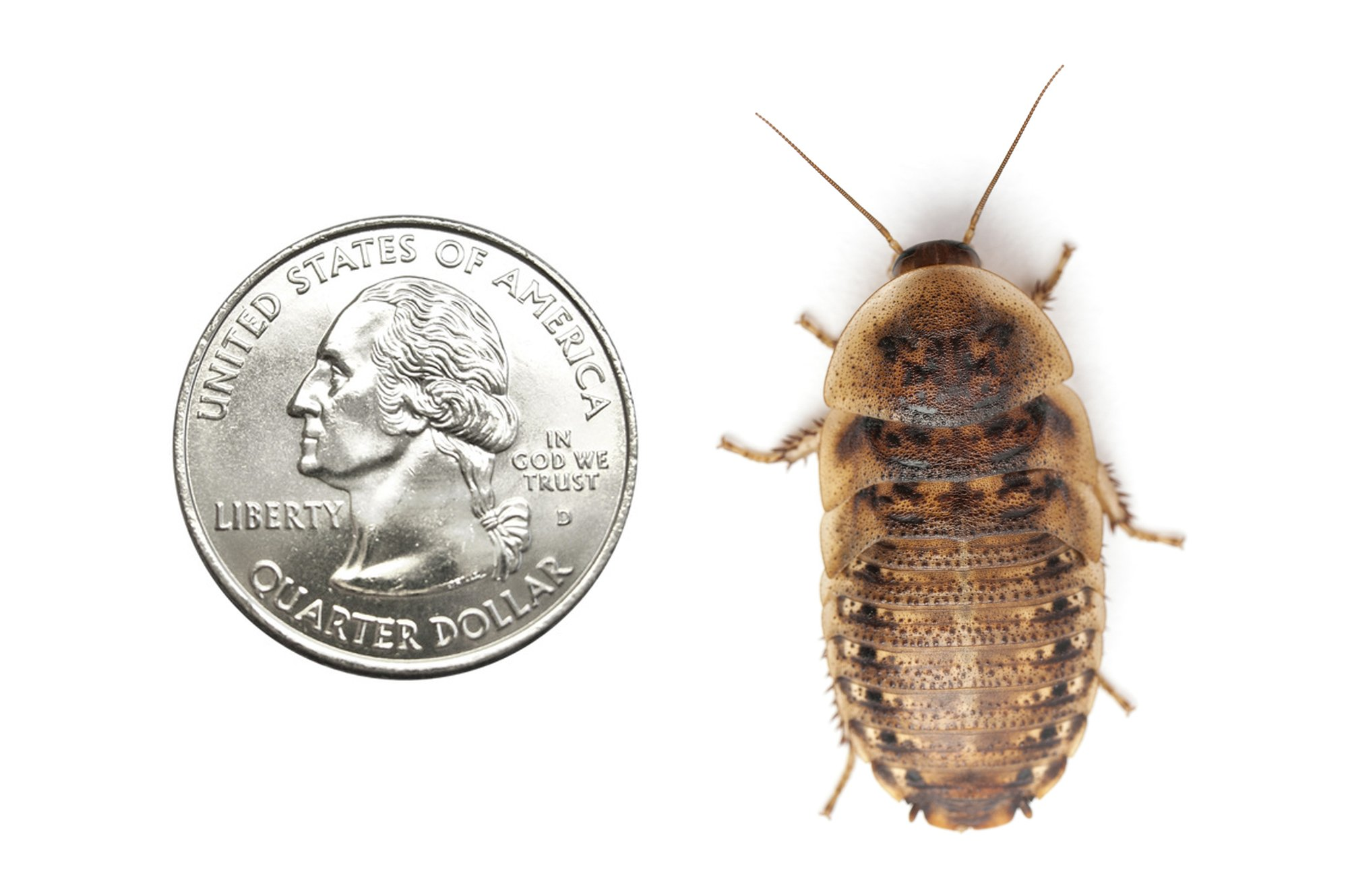 Blaptica dubia 200 Dubia Roaches XL 1.25'' and up No Adults by Blaptica dubia