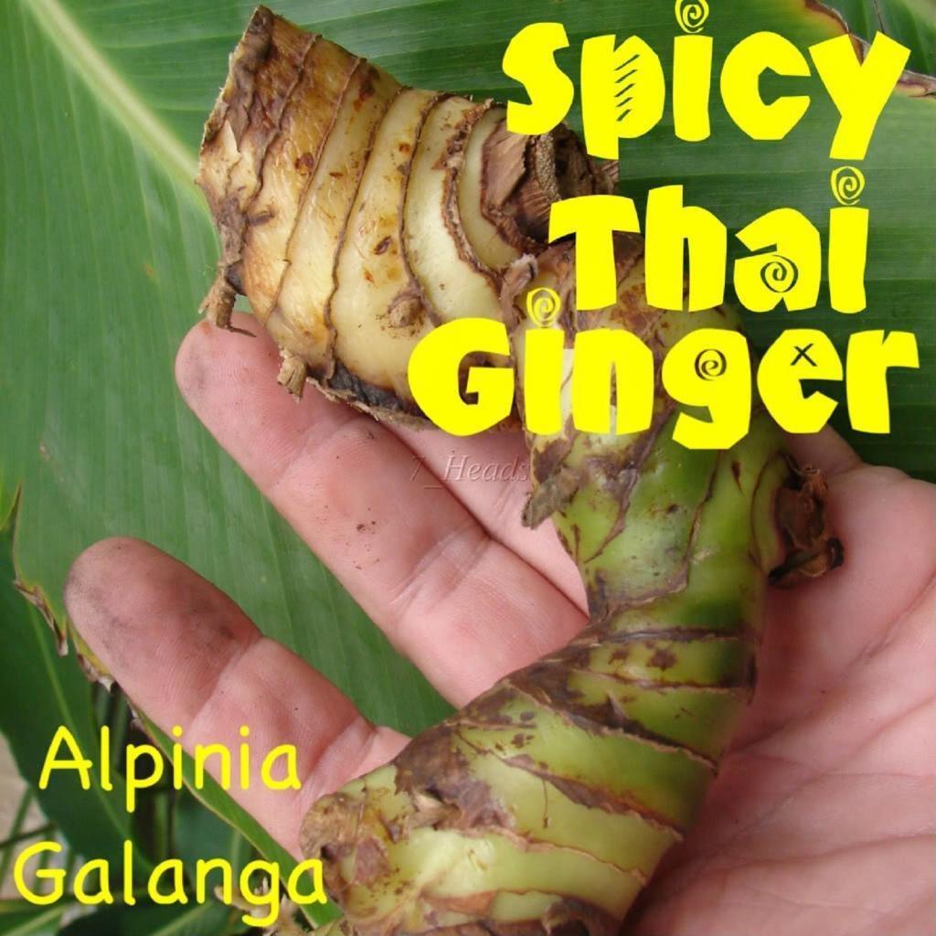 3 LIVE RHIZOMES Alpinia Galanga HOT & SPICY THAI GINGER Greater Galangal rhizome