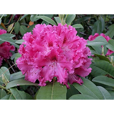 Rhododendron Besse Howells - Large Five Gallon Plant - Flowering Shrub : Garden & Outdoor