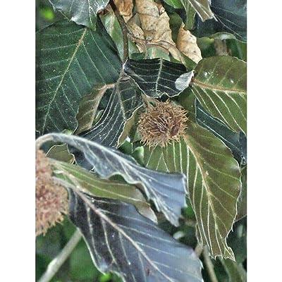 15 Copper Beech Seeds #RDR02 : Garden & Outdoor