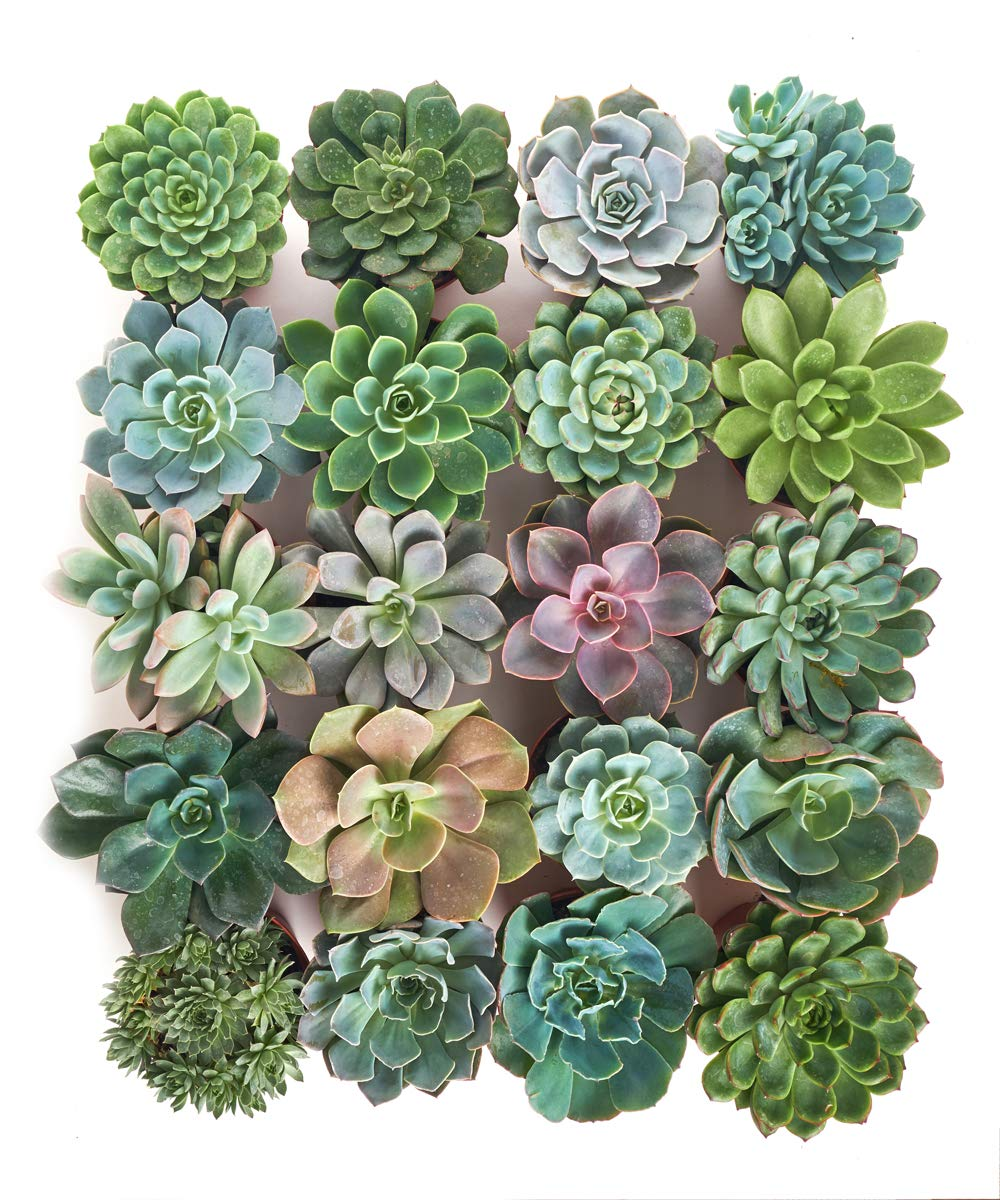 Shop Succulents | Radiant Rosette Live Plants, Hand Selected Variety Pack of Succulents | | Collection of 20 in 4'' pots, Pack of 20
