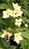 Jasminum officinale Clotted Cream rich cream scented summer flowers popular with bees 1 litre pot FREE DELIVERY