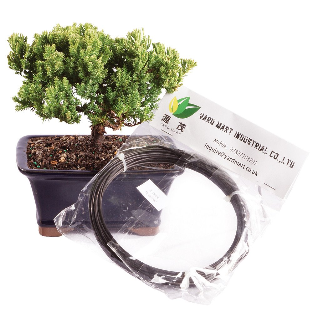 Brussel's Live Green Mound Juniper Outdoor Bonsai Tree with Aluminum Wire - 4 Years Old; 6'' to 10'' Tall with Decorative Container - Not Sold in California