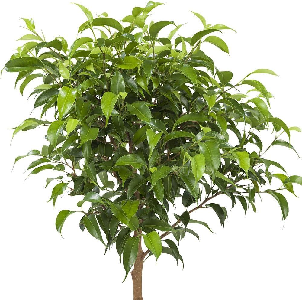 Ficus Pumila 2 /× Figuier rampant en un sac de jute comme un ensemble Hauteur: 65 cm Plantes dint/érieur de Botanicly