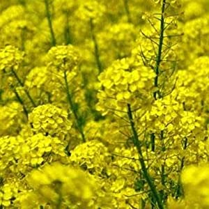 Nemagon Mustard - 1 LB ~240,000 Seeds - Non-GMO, Hybrid Farm & Garden Cover Crop Seeds - Root-Knot Nematode Control