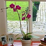 Phalaenopsis Orchidee lila - 1 pflanze