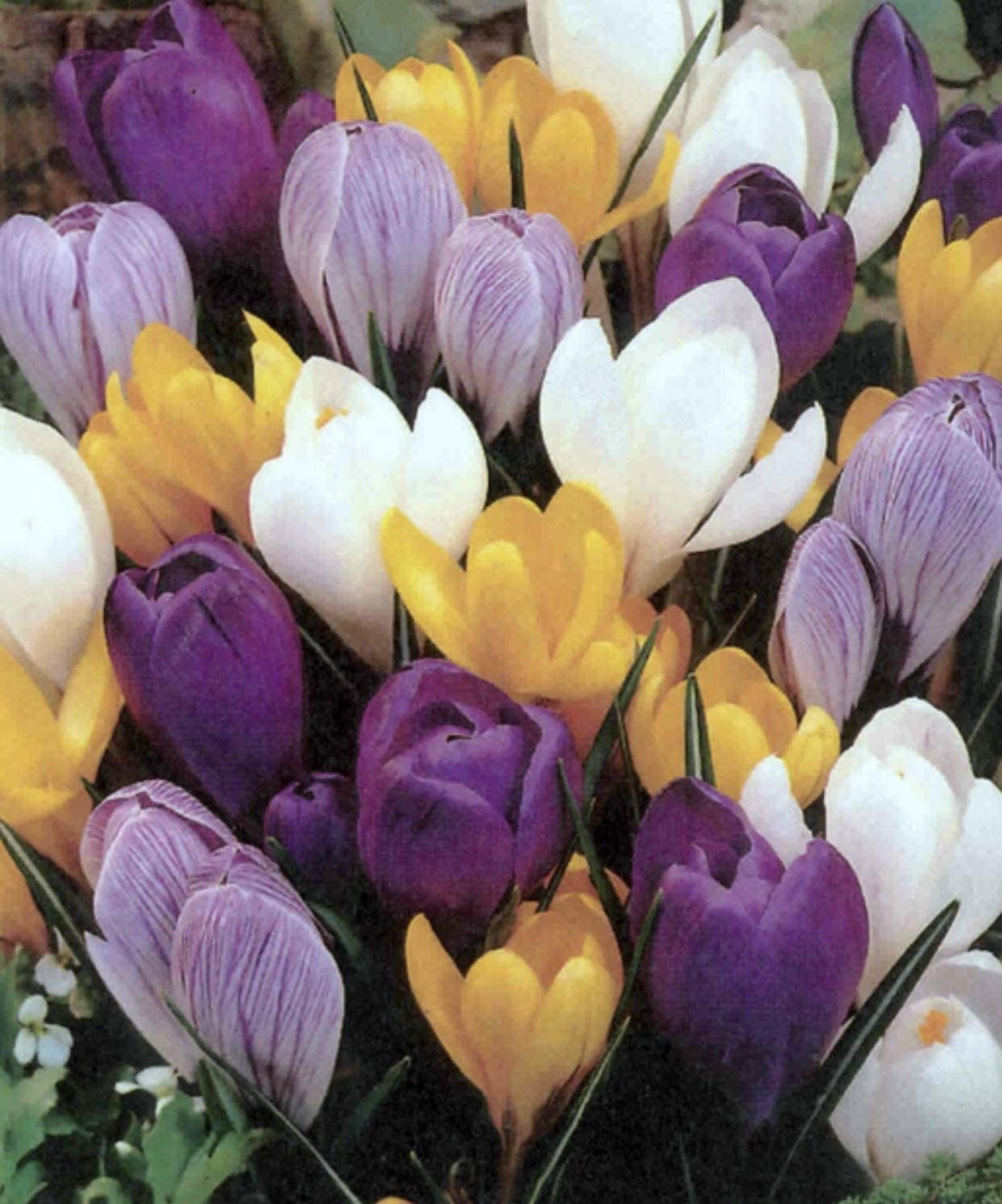 100 Mixed Colour Crocus Plants in The Green 100 Bulbs