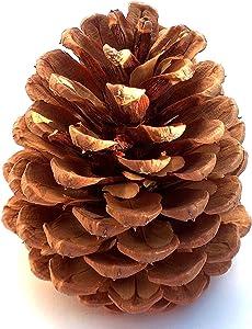 Winter Woods Cinnamon Scented Pinecones 12-14/Pkg, Large