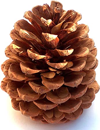 Open and Dry Pine Cones Extra Extra Large 15cm+ Natural Professional Quality