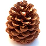 Winter Woods Cinnamon Scented Pinecones 12-14/Pkg, Large