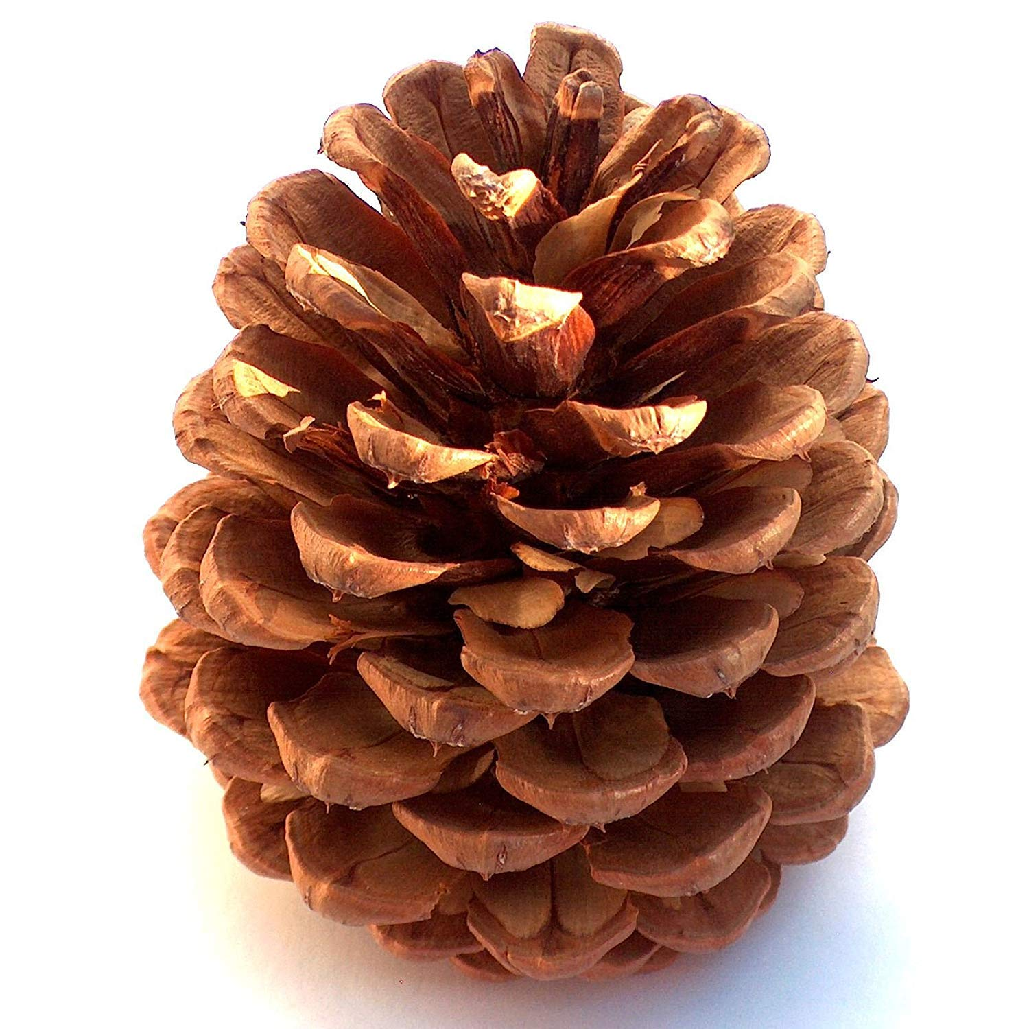 Winter Woods Cinnamon Scented Pinecones 12-14/Pkg, Large Notions - In Network 88-285