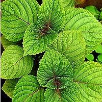 100 semillas de Perilla Heirloom Green Plantación en patio al aire libre Resistencia al calor Shiso Fuerte adaptabilidad…