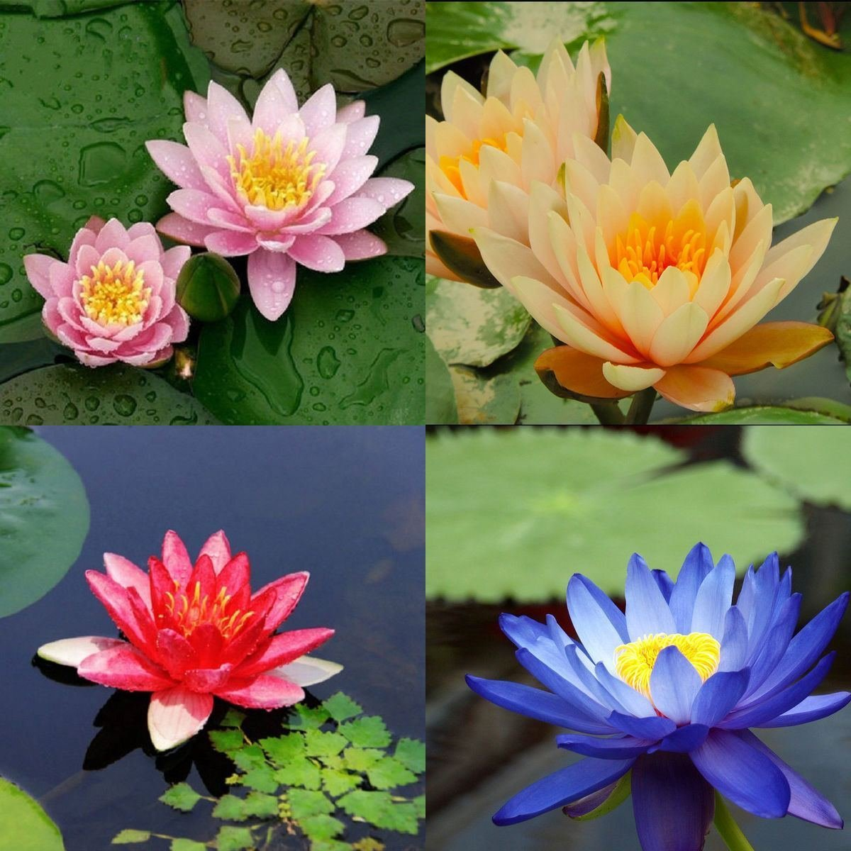 10 seeds 4 color mix Bowl Lotus Flower Seed water Aquatic Plants ...