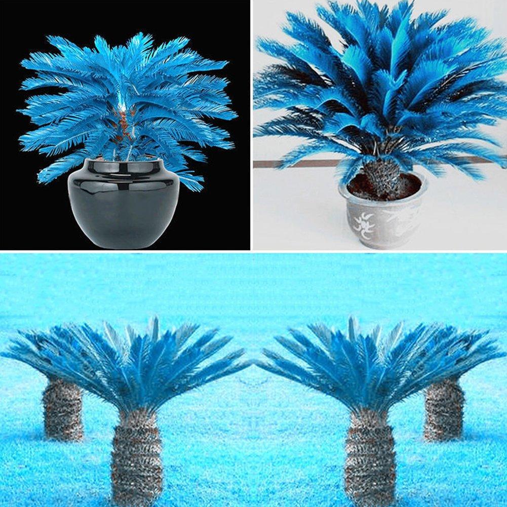 Palm Tree Seeds,100 PCs Blue Sago Palm Seeds Rare Plant Cycad Bonsai Flower for Home Garden Decoration Planting Tookie