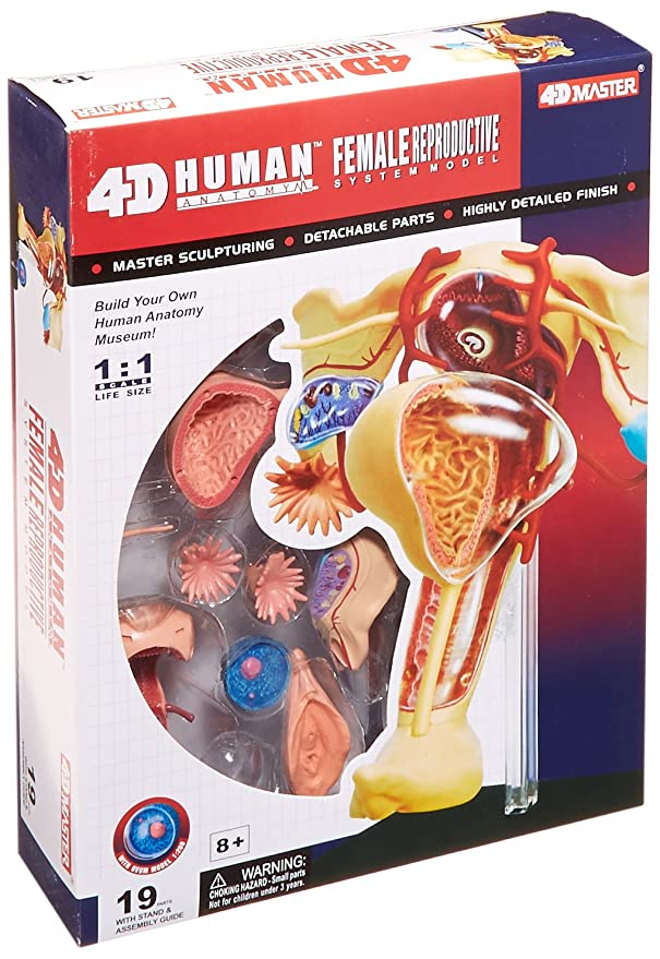 Amazon.com: Famemaster 4D-Vision Human Female Reproductive Anatomy ...