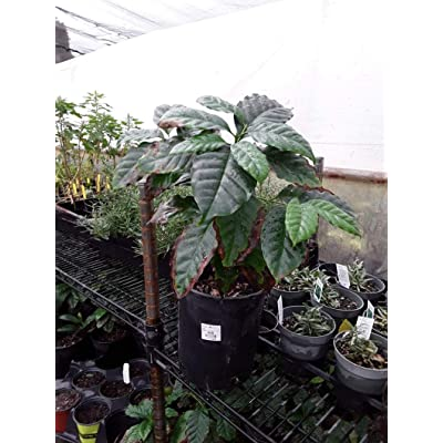 "AchmadAnam - Live Plant - Arabica Coffee Plant - 1 Plants - 8"" to 1 Feet Tall - Ship in 1 Gal Pot. E9 : Garden & Outdoor"