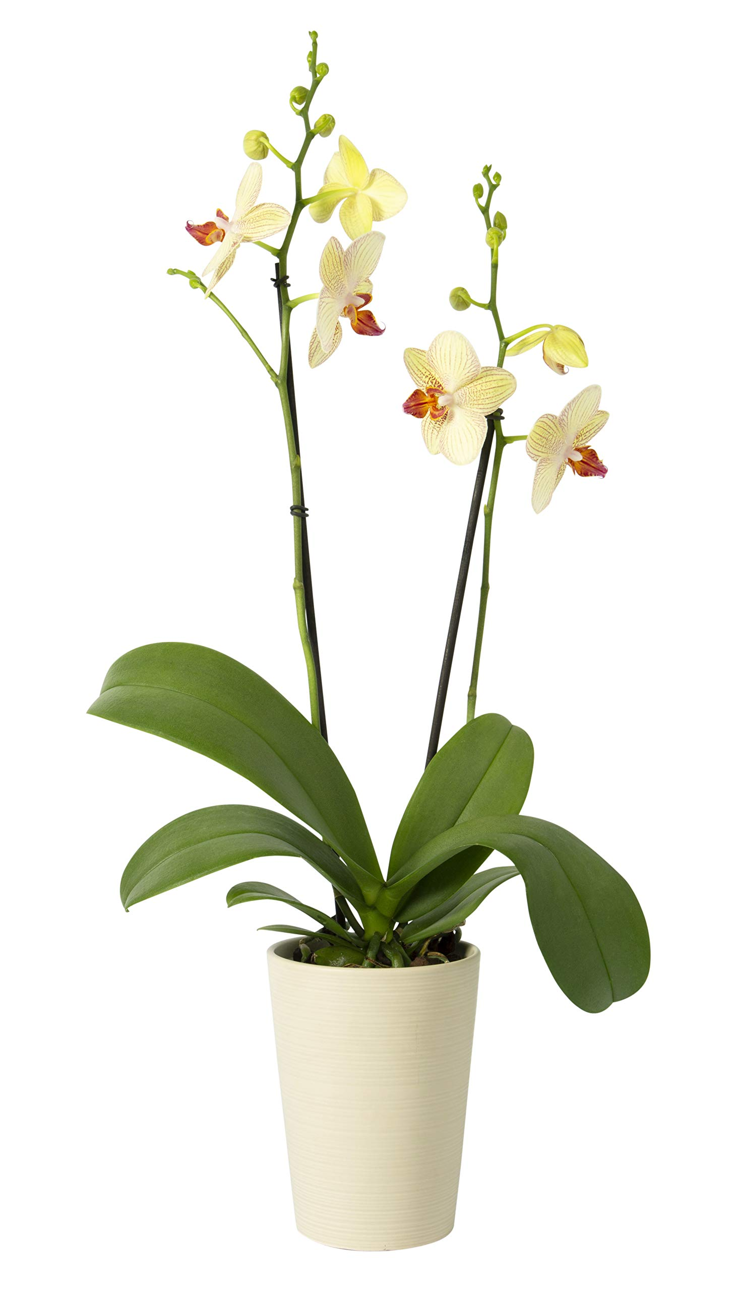 Color Orchids Live Blooming Double Stem Phalaenopsis Orchid Plant in Ceramic Pot, 20''-24'' Tall, Yellow Blooms