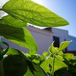 Huerto Urbano - Kit Happy Garden Girasol Enano - Batlle: Amazon.es ...