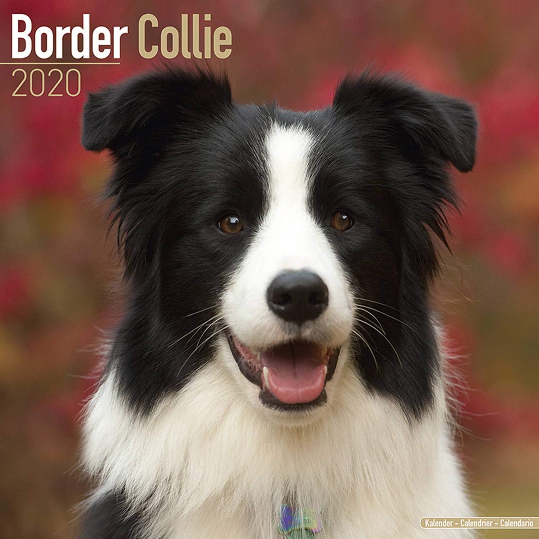 Uf Calendar 2020.Border Collie Calendar 2020 Amazon Co Uk Avonside Publishing Ltd