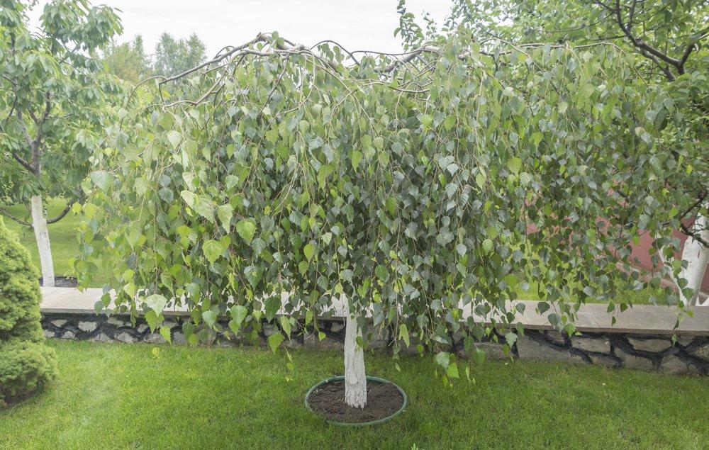 Garden Bonsai Weeping Silver Birch 10 Seeds Betula Pendula Quick Growth Seeds Trees