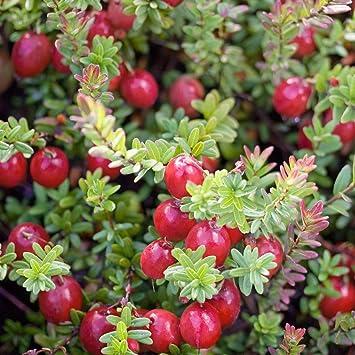 Geliebte Dominik Blumen und Pflanzen, Großfrüchtige Moosbeere, Cranberry @SC_27