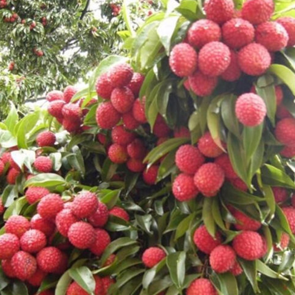 15Pcs Lychee Seeds, Fresh Delicious Tropical Asian Thai Lychee Seeds, Sweet Organic Seasonal Fruit Bonsai Plant for Summer DIY Planting Woopower