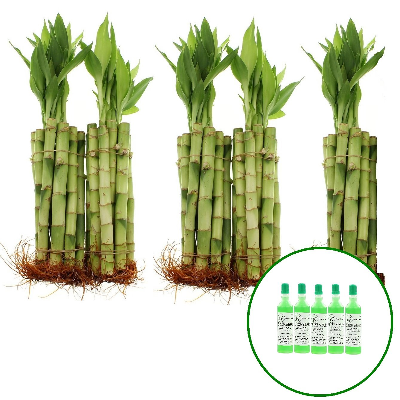 NW Wholesaler - Live Lucky Bamboo 8'' Straight Stalks w/ 5 Free Bottles of Bamboo Fertilizer (50)