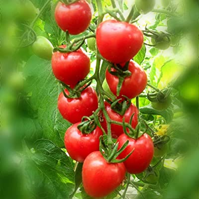Cherry Tomato Seed Red Virgin Fruit Seed Non-GMO Four Season Sowing Balcony Potted Vegetable Seed : Garden & Outdoor