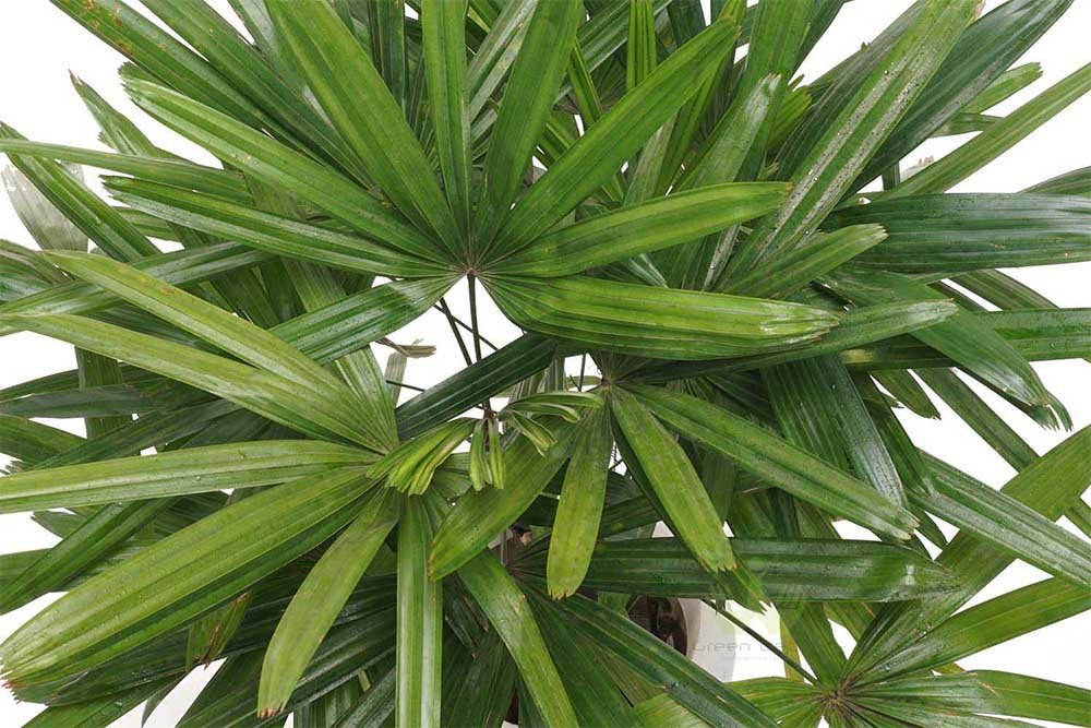 AMERICAN PLANT EXCHANGE Lady Palm'' Rhapis Excelsa''- Cold Hardy Live Plant, 3 Gallon by AMERICAN PLANT EXCHANGE