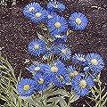 Everwilde Farms - Fleabane Daisy Native Wildflower Seeds - Gold Vault