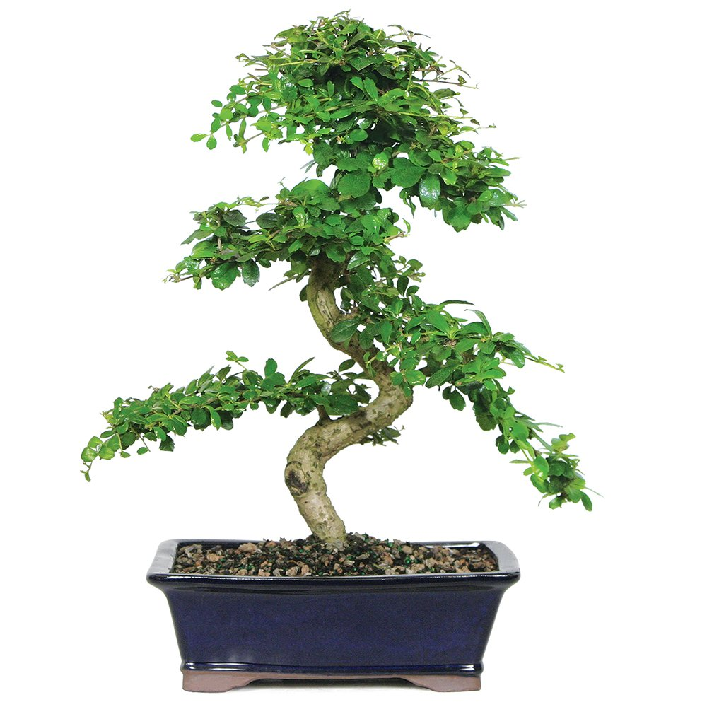 Brussel's Live Fukien Tea Indoor Bonsai Tree - 10 Years Old; 10'' to 14'' Tall with Decorative Container