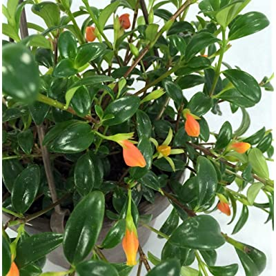 """Ohio Grown Goldfish Plant - 6"""" Hanging Basket - Blooms Frequently! : Live Indoor House Plants : Garden & Outdoor"""