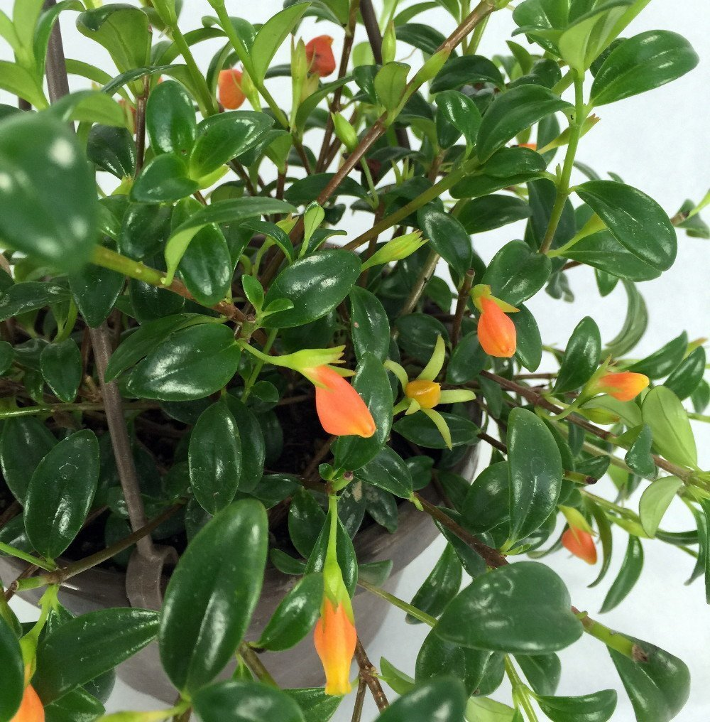 "Ohio Grown Goldfish Plant - 6"" Hanging Basket - Blooms Frequently!"