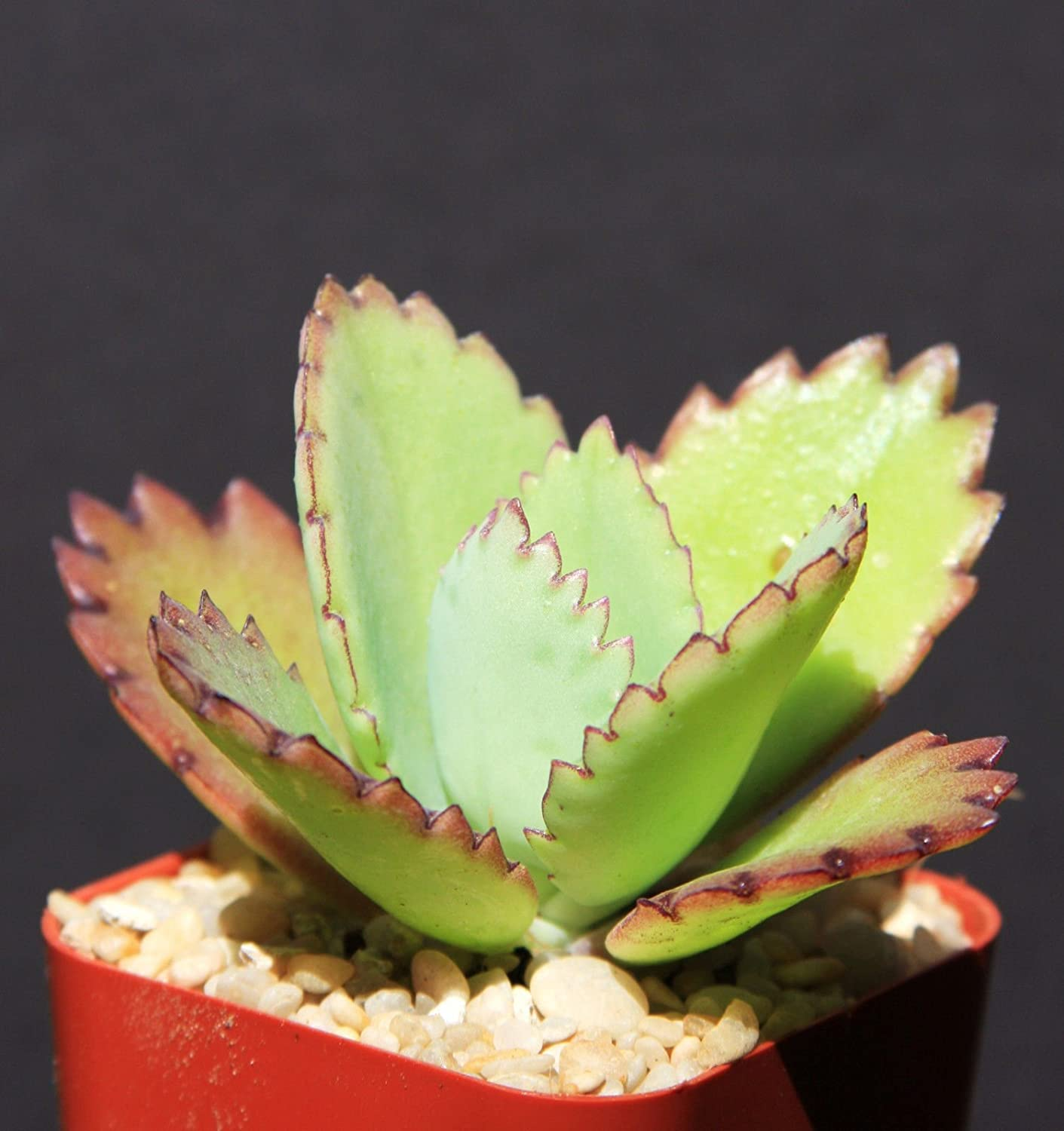 Mexican Hat Plant 15 Seeds Kalanchoe  daigremontiana
