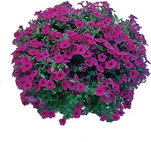 Burpee Purple Wave Petunia Seeds 15 pelleted