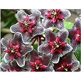 Hoya carnosa grey-purple - Porzellanblume - Wachsblume - 10 Samen