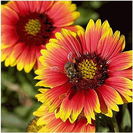 1 Oz Gloriosa Daisy Wildflower Seeds Everwilde Farms Mylar Seed Packet