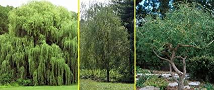 Ready to Plant Fast Growing Tree 5 Austree Hybrid Willow Trees