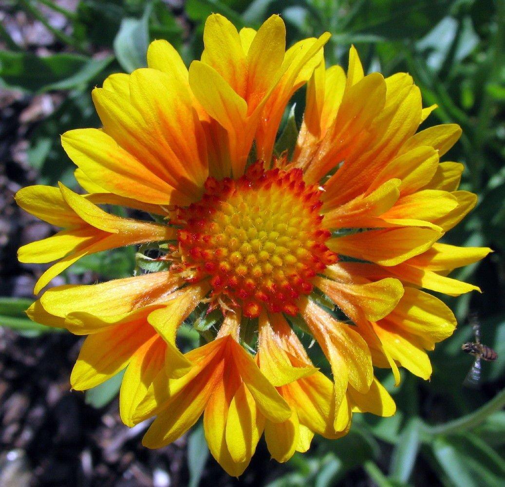 Amazon Fanfare Citronella Blanket Flower Perennial Gaillardia