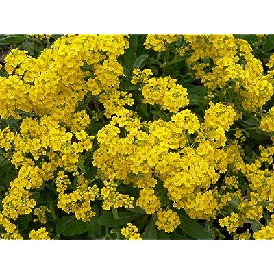 David's Garden Seeds Flower Alyssum Basket of Gold SL1174 (Multi) 500 Non-GMO, Heirloom Seeds : Garden & Outdoor