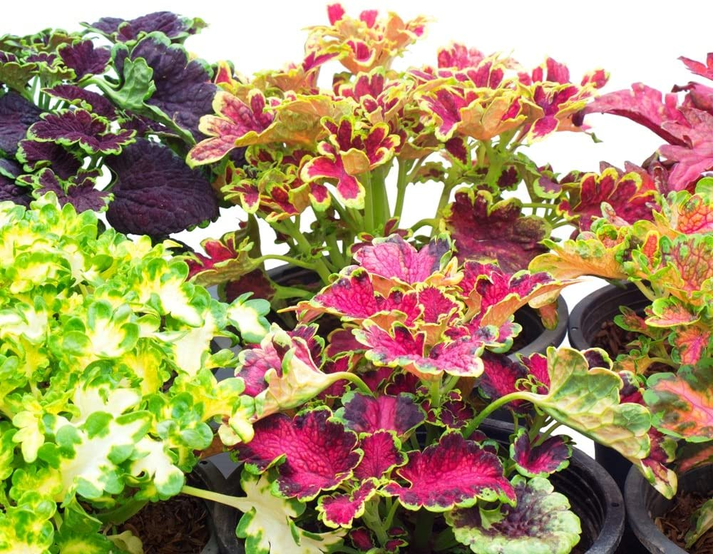 Amazon Com Flame Nettle Seeds Coleus Blumei Garden Outdoor
