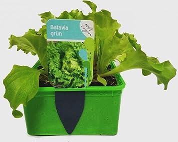 Gemüse Jungpflanze Salat Batavia Grün Im 6er Pack Amazonde Garten