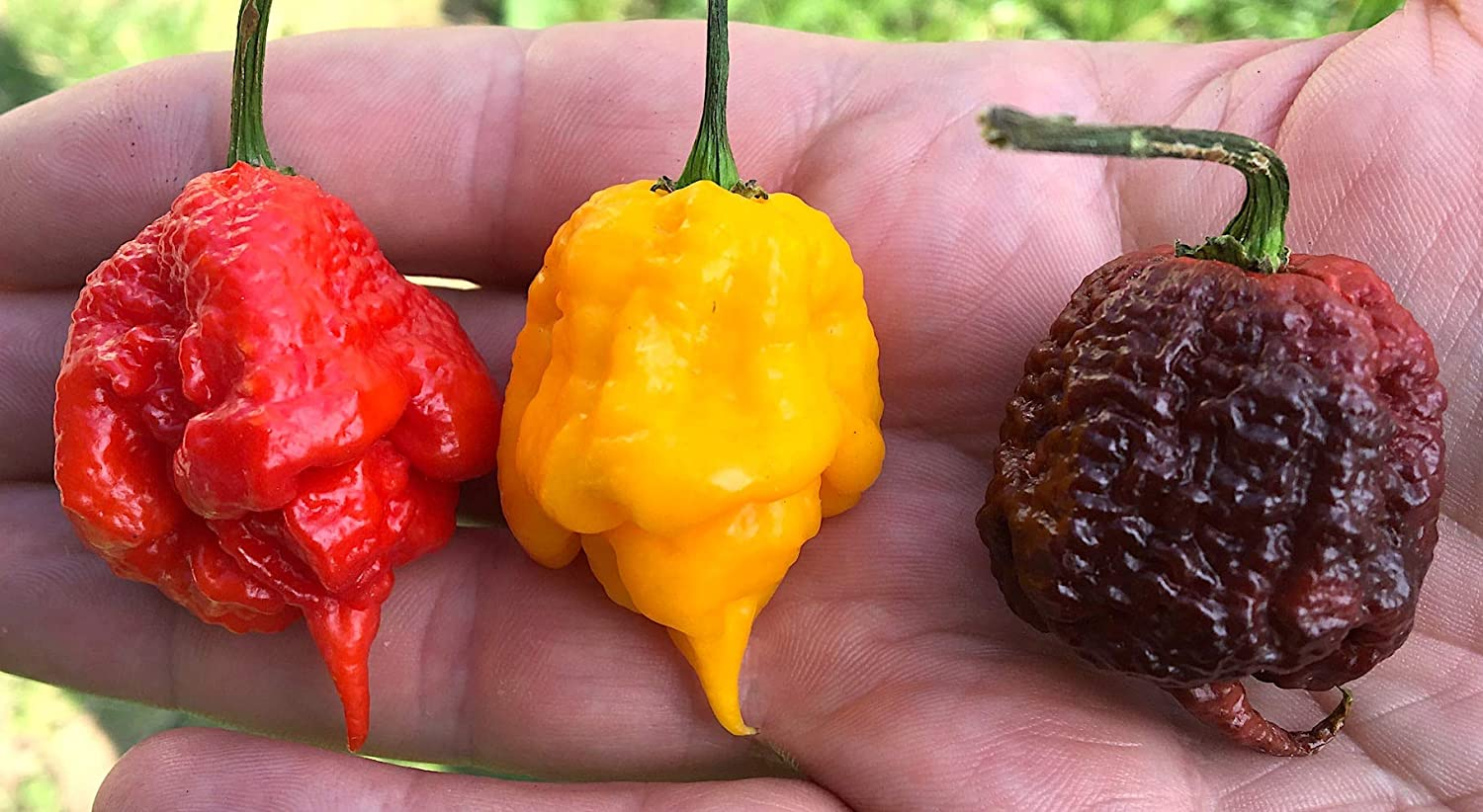 Carolina Reaper Collecction 30 Semillas Pura En 3 Color: Red, Chocolate, Yellow, Produccion Italia 100%