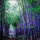 Rare Purple Timor Bamboo Bambusa Bamboo 50 Seeds