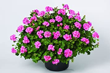 Geranien Hangend Pelargonium Peltatum Rosa Gefullte 3 Pflanzen