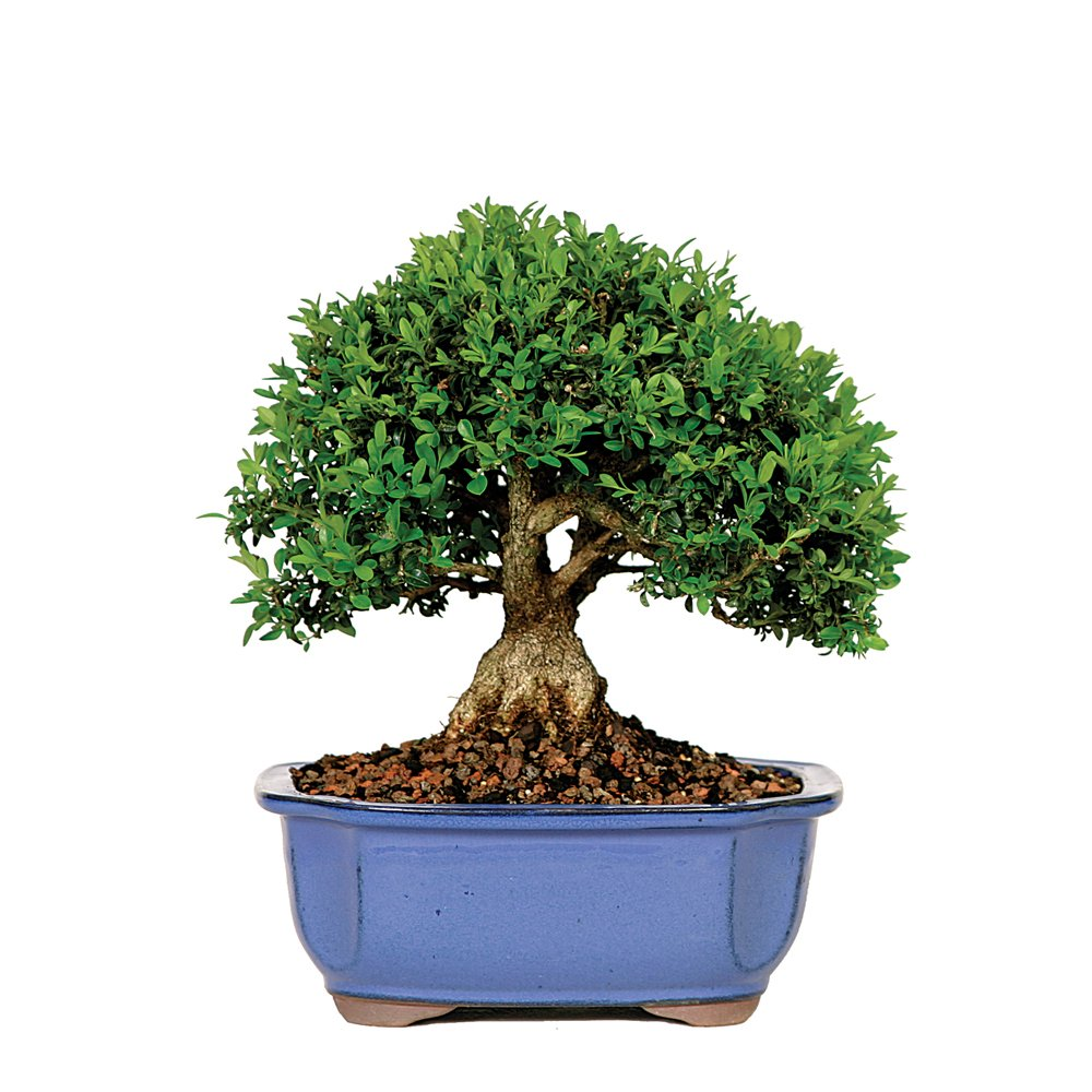 Brussel's Kingsville Boxwood Bonsai by Brussel's Bonsai