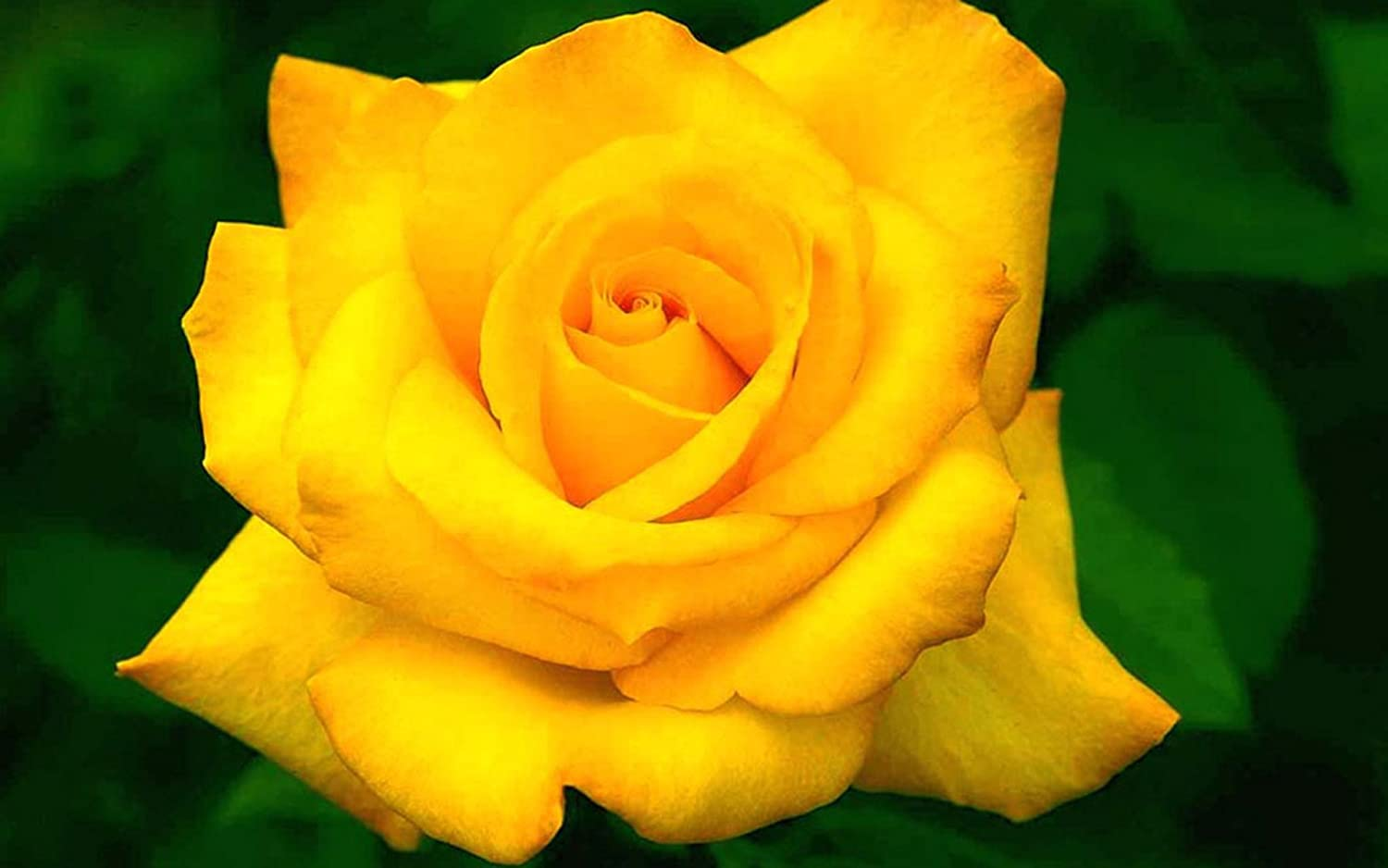 Bee Garden Organic Yellow Rose Flower Seeds Pack Of 10 Amazon