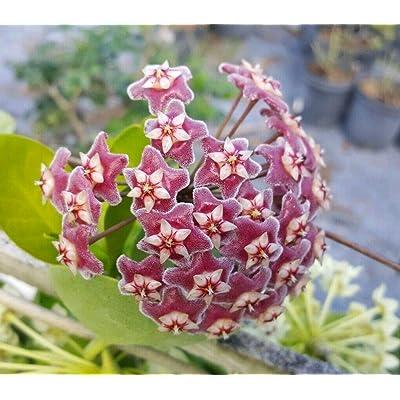 "Hoya Pubicalyx Mottled-Silver Leaf Live Plant Wax Plant Tropical Vine 5"" Tall : Garden & Outdoor"